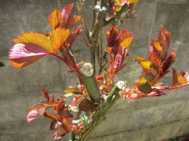 漢詩 3月13日 薔薇の芽や戦後生まれも古りけり。 一東二冬の通韻。