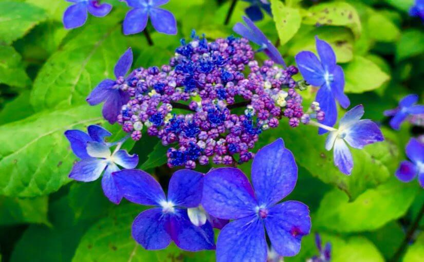 ぼんと山紫陽花