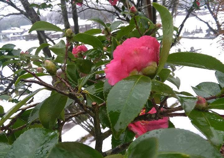 漢詩 12月12日 初雪の越後路にサザンカが咲いております。