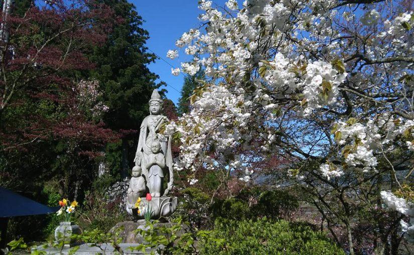 4月29日 快晴です❗白い八重桜と観音さま ー 新潟村上 普済寺ー 庭園公開 春のイベント週間の三日目の朝❗