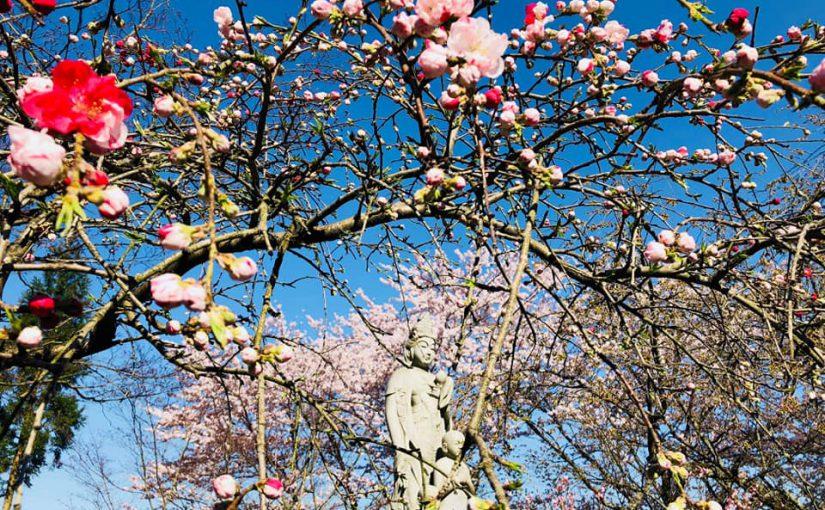 4月20日 源平ハナモモが咲き ソメイヨシノの満開。3枚目はプリンセスマサコ(雅子妃の御名前のサクラ。) 夢のような春が来ました。