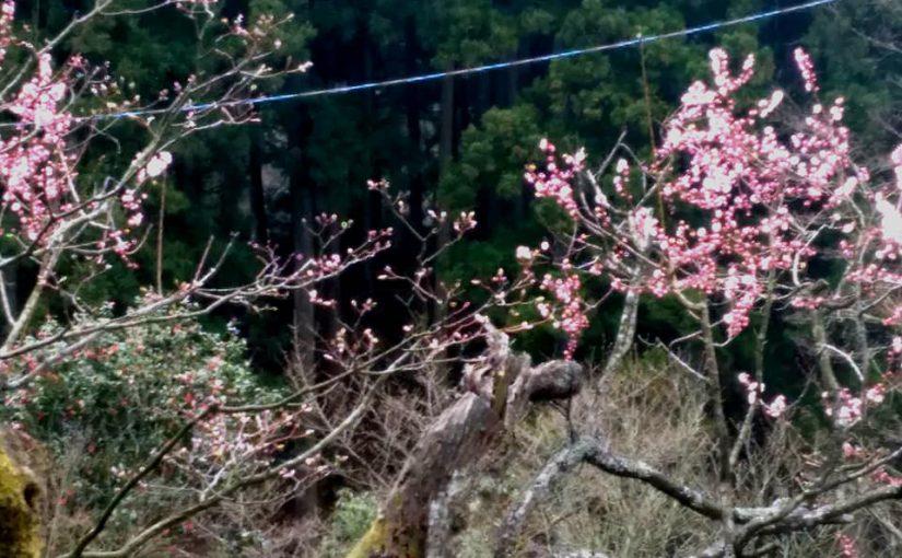 4月10日 越後の春❗ 紅梅 咲きつつあります❗マンサクの黄色い花 まだ咲いてます❗