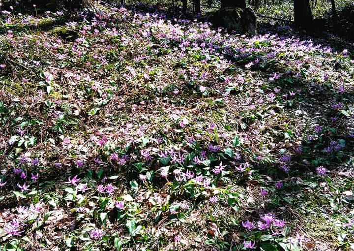4月12日 久し振りによいお天気です❗ グルッと一回り10分程❗ カタクリが花盛りでした。