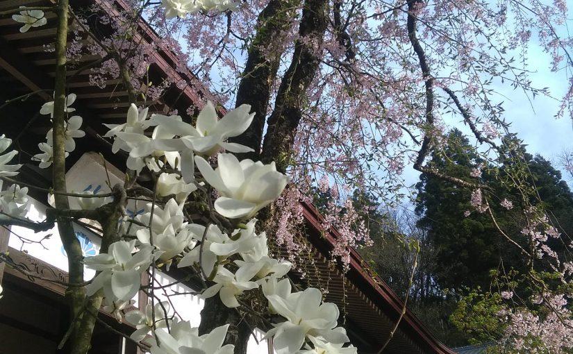 4月23日 今日もお疲れさまでした。 白木蓮が満開❗