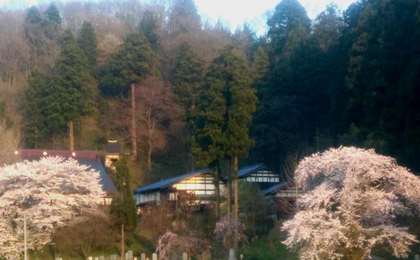 4月22日 はるかに普済寺です。 サクラ満開❗ツバキでは藪椿が一番好きです❗