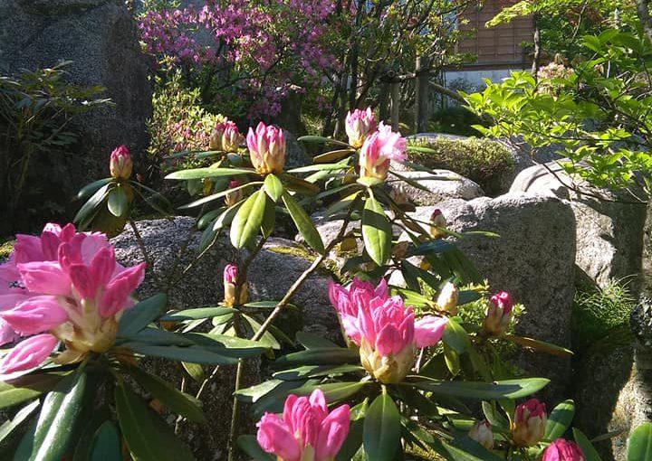 石楠花が咲き始めています。ー新潟村上 普済寺ー 昨日の精進会席膳は38人でした。