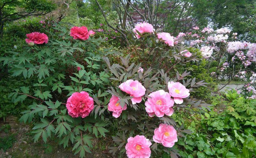 5月14日 曇りですが暑い☀ー新潟村上 普済寺ー 石楠花やボタンが花盛り❗