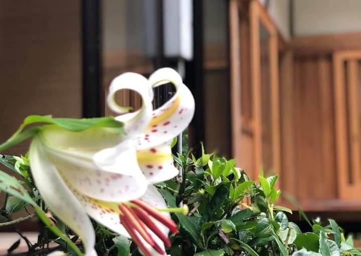 7月17日 山ユリが咲き始めました❗