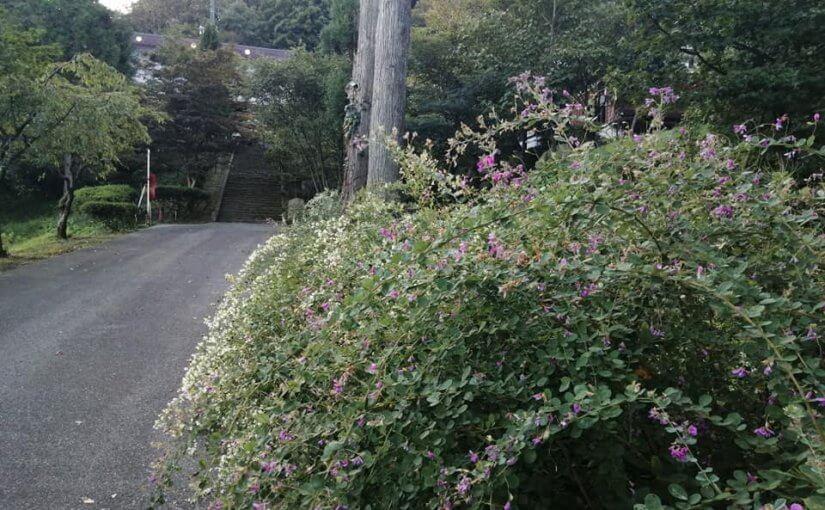 9月27日 おはようございます。いつの間にやら秋も闌(たけなわ)萩の花盛りとなりました。