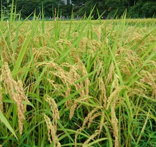 漢詩 9月3日 稲刈りが始まる頃  若くから新潟市に出ておられた方に哀悼の詩