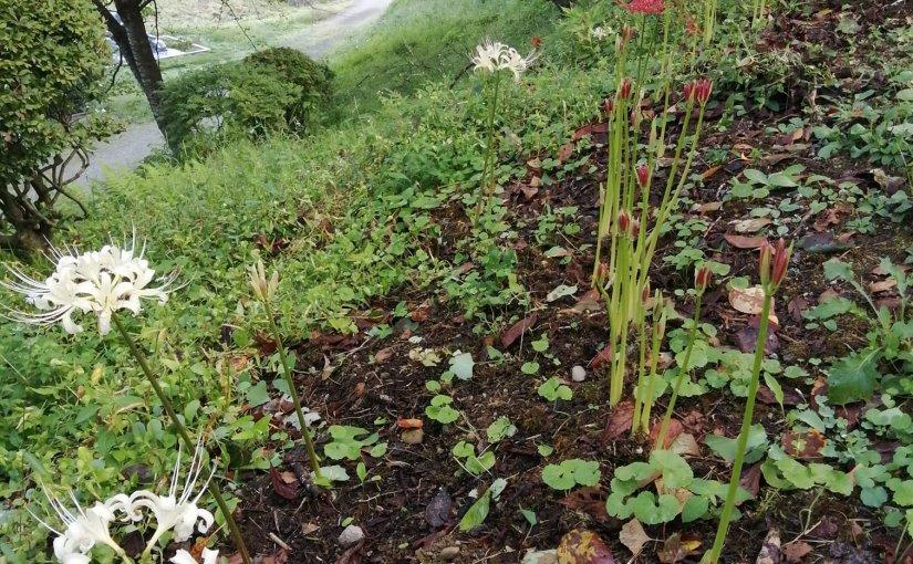 9月26日 春に頂いた白い花はFB友から赤い花は昔馴染みから 彼岸花の球根から時期を違えずチャンと花の茎が出て来ました。