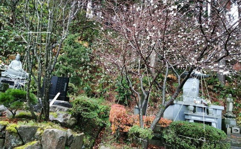 11月25日 新潟県村上市は二日続きの好天が本日は氷雨となってます 秋桜(冬桜)が白く咲いています。