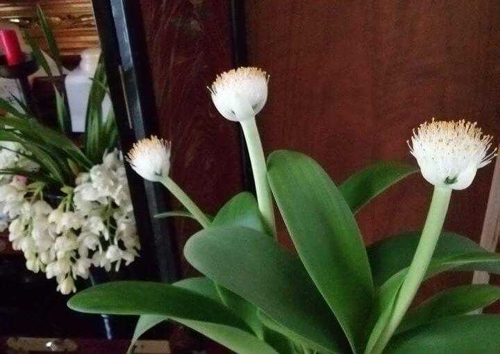 1月6日 写真は「眉刷毛(まゆはけ)オモト」 宮津市からの年賀状に頂いた漢詩の脚韻に次して一偈を作りました。