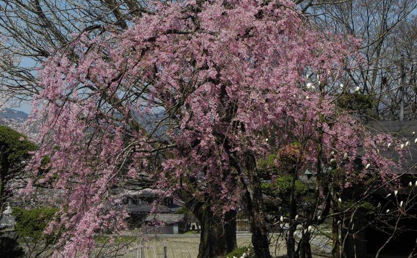 2月15日 写真は まだ来ない4月の枝垂れ桜 2月の今頃はあの年の2月の事が思いだされます。
