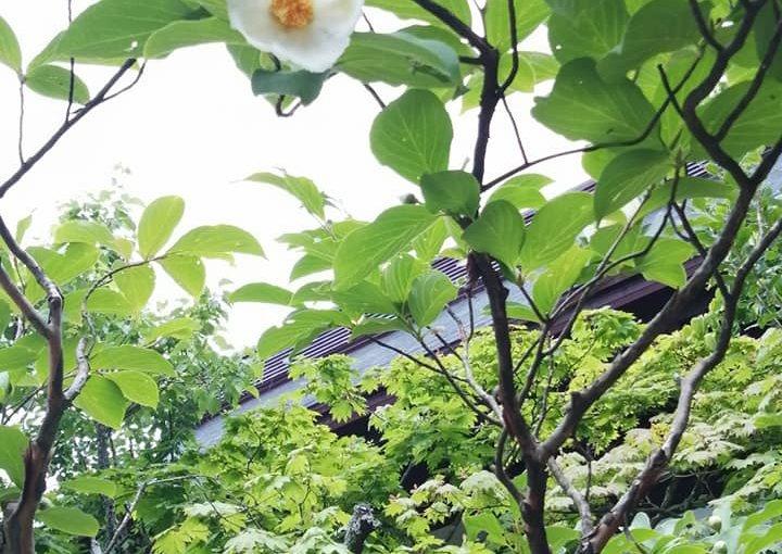 6月26日 久しぶりの雨☔になった新潟県村上市です ナツツバキ ウエルカムフラワーのユリ