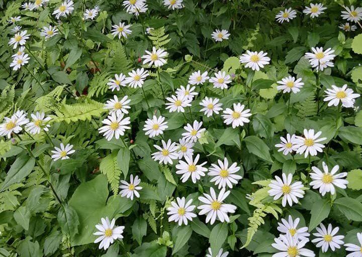 6月1日 ミヤコワスレの原種ミヤマヨメナ花盛り