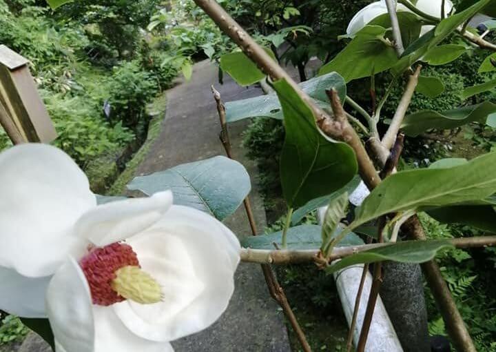 6月3日 オオヤマレンゲが次々咲き始めています。