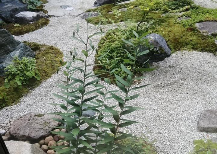 6月24日 ヤマユリのツボミが大きくなってます。