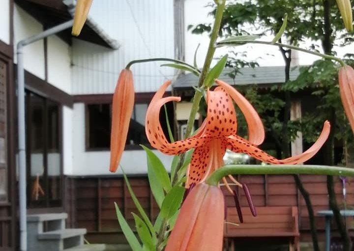 7月24日 今朝の花々 オニユリも背の高さ2メートル。 シモツケもまだ咲いてます。ギボシ ケイトウ。