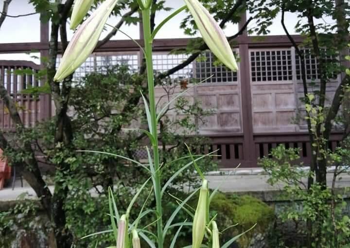 8月16日 高砂ユリが背が高くツボミも膨らみイヨイヨ秋の風情となっております。明日からは暑くなるようです。