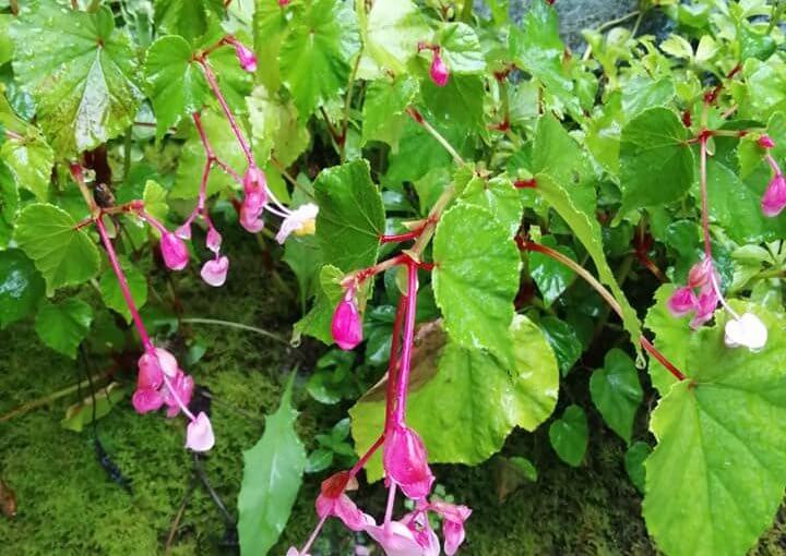 漢詩 9月19日 秋海棠が幽(かそけ)く秋雨の中 咲いております 。九十五歳のご婦人が亡くられました。