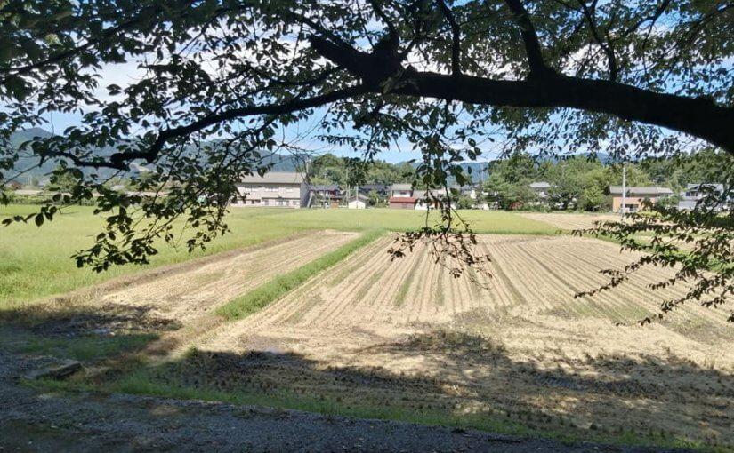 9月1日 新潟県村上市では既に早稲品種は稲刈りがすすんでいます。中旬からはコシヒカリです。