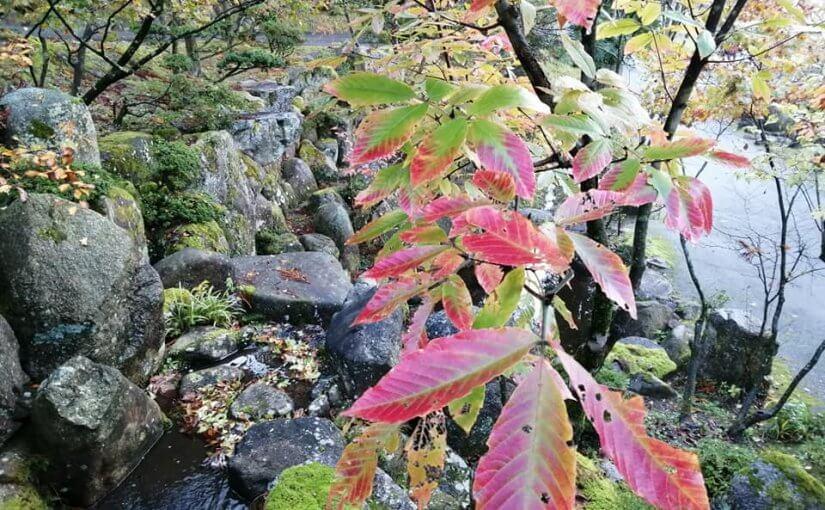 11月6日 メグスリノキの紅葉が進んでいます。 今朝5時から(1時間)の坐禅に新潟市からの参加者(女性)がありました。