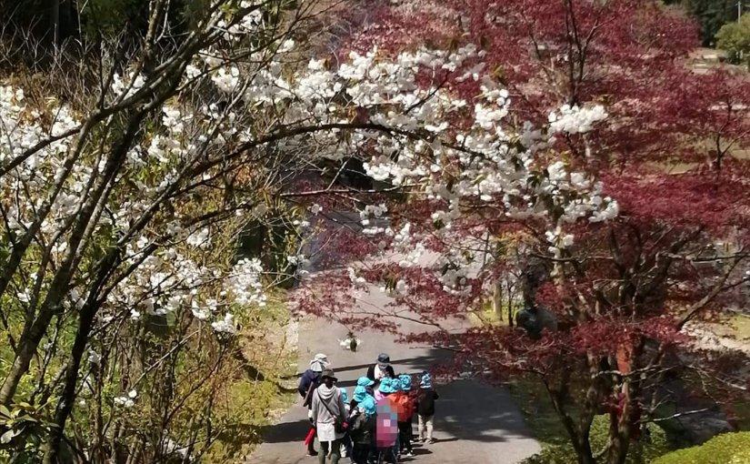 4月28日 花かんむりの白い八重桜。右はノムラモミジの若葉。 今年は季節(花)が少し早いようです