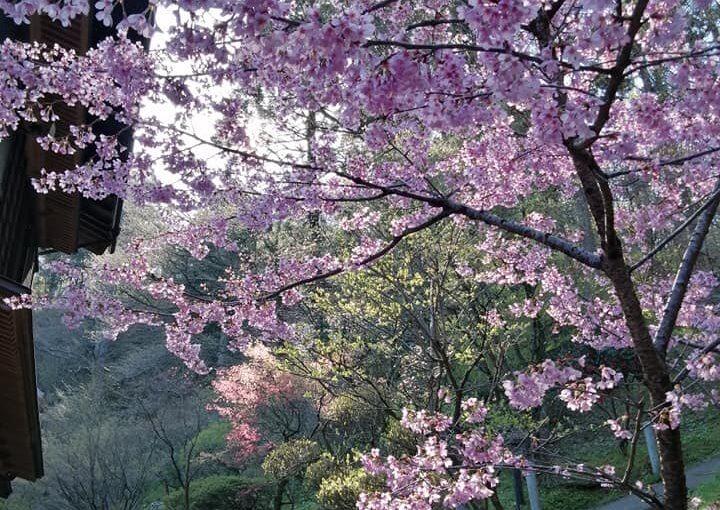 4月16日 今朝のウエルカムフラワー(おじいちゃんです) 新潟県村上市は穏やかな快晴の朝を迎えています。
