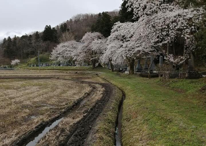 4月9日 寒いですね。 新潟県村上市は白い白いものがチラチラ。