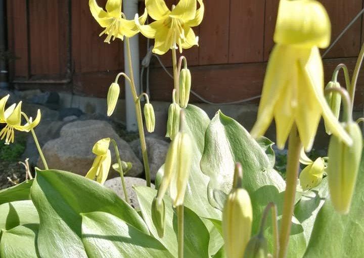4月24日 村上市は好天が続いています。 まだまだ花盛りキバナカタクリ ミツバツツジ イチリンソウ 春一番ツツジ ヤマザクラ