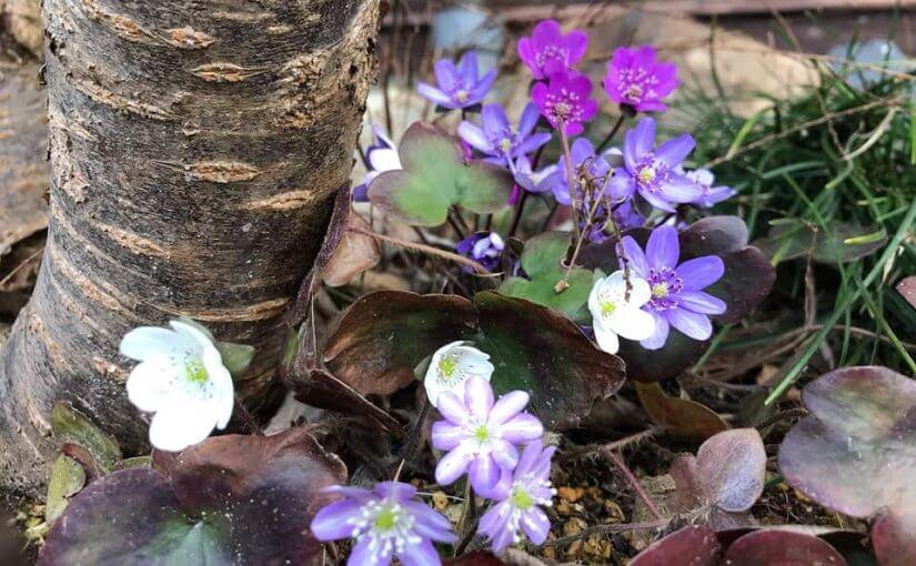 4月10日 新潟県村上市普済寺の 3月27日に坐禅会に来た方が撮って下さった山野草の一部です