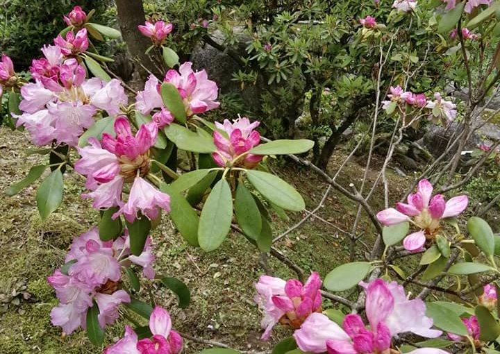 5月9日 村上市は朝は雨でしたが徐々に晴れて来ました。快晴では有りませんが曇りという所です。 午前中は二組の方(参拝 観光)があってお茶のみ。