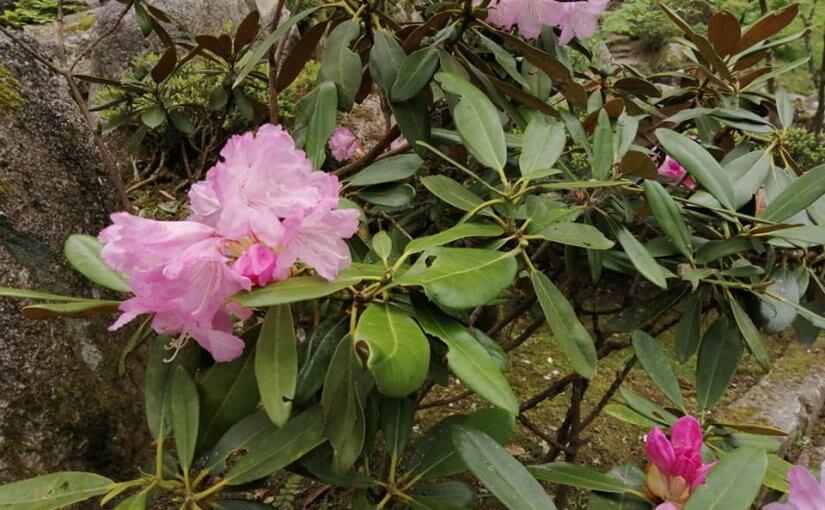 5月7日 石楠花は2本しかありませんが満開 ボタンはこれからですね。イチリンソウはまださいてました 小型のイチハツがさいています。