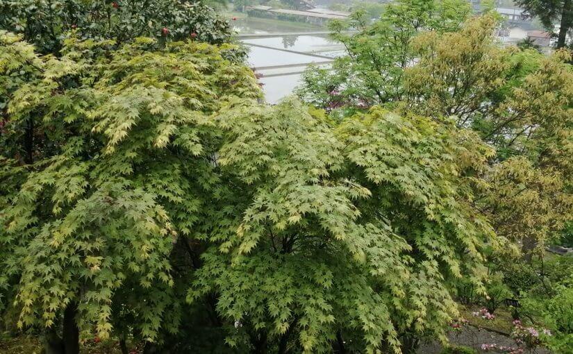 5月9日 村上市大場沢は雨の日曜日です。 マイ部屋からのモミジ