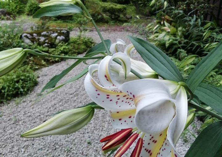 7月9日 不思議ですね山ユリが例年だいたい今頃から咲きます今年も違(たが)わず咲き始めました。