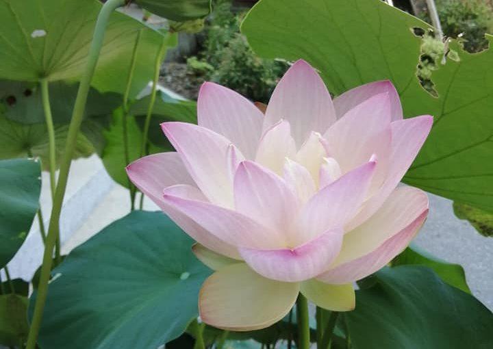 8月3日今朝来られた○さんの写真をお借りしました一枚目の左が今朝の花で真ん中が昨日咲いたもの花托は一ヶ月前のものですから長く次々咲いていることになります。右は今日もまだ咲きません 明日でしょうか。昨夜の坐禅の後 思う所あり詩を作ってみました。