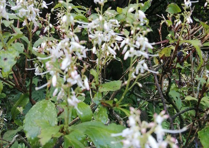 9月2日 村上地方 本日は晴天です。穂ツツジです。お盆が過ぎで初秋の花が無い時期に山の木の花が咲きます。ツクバネも実が大きくなっています。